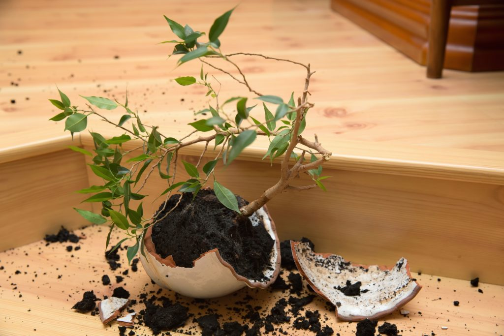 "Young plant - ""Ficus"" in a broken flower pot"
